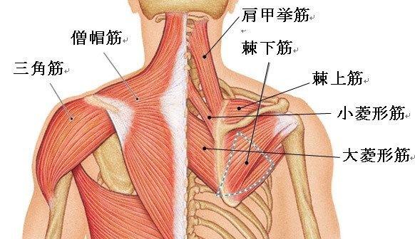 背部の筋肉